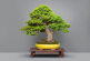 SM North EDSA to hold biggest Bonsai workshop on March 22